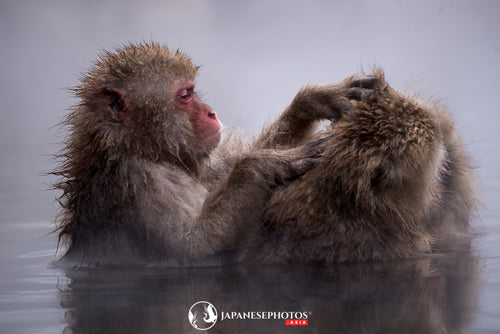 ABlyth Photo Download: Jigokudani Monkeys Grooming