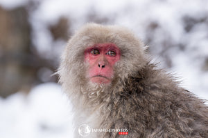 ABlyth Photo Download: Jigokudani Monkey Pensive