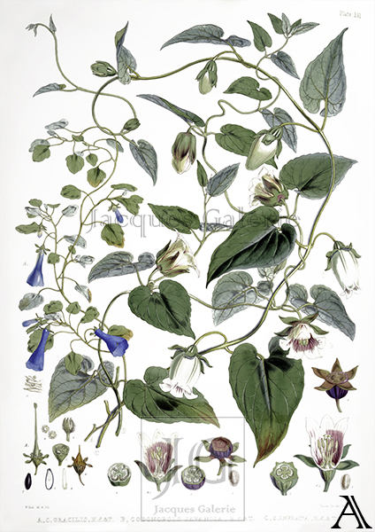 Himalayan Plants  W.H. Fitch