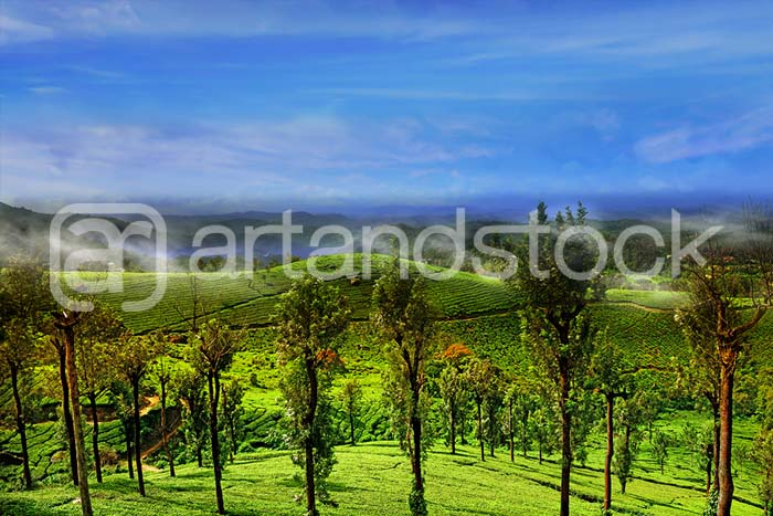 Misty Tea Plantation Hill - Artandstock