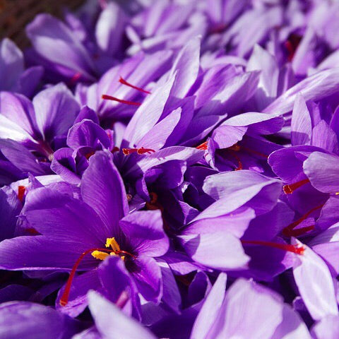 Beautiful Crocus Sativus flowers which bloom in Autumn Fall