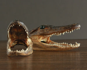 real taxidermy alligator head 6 in