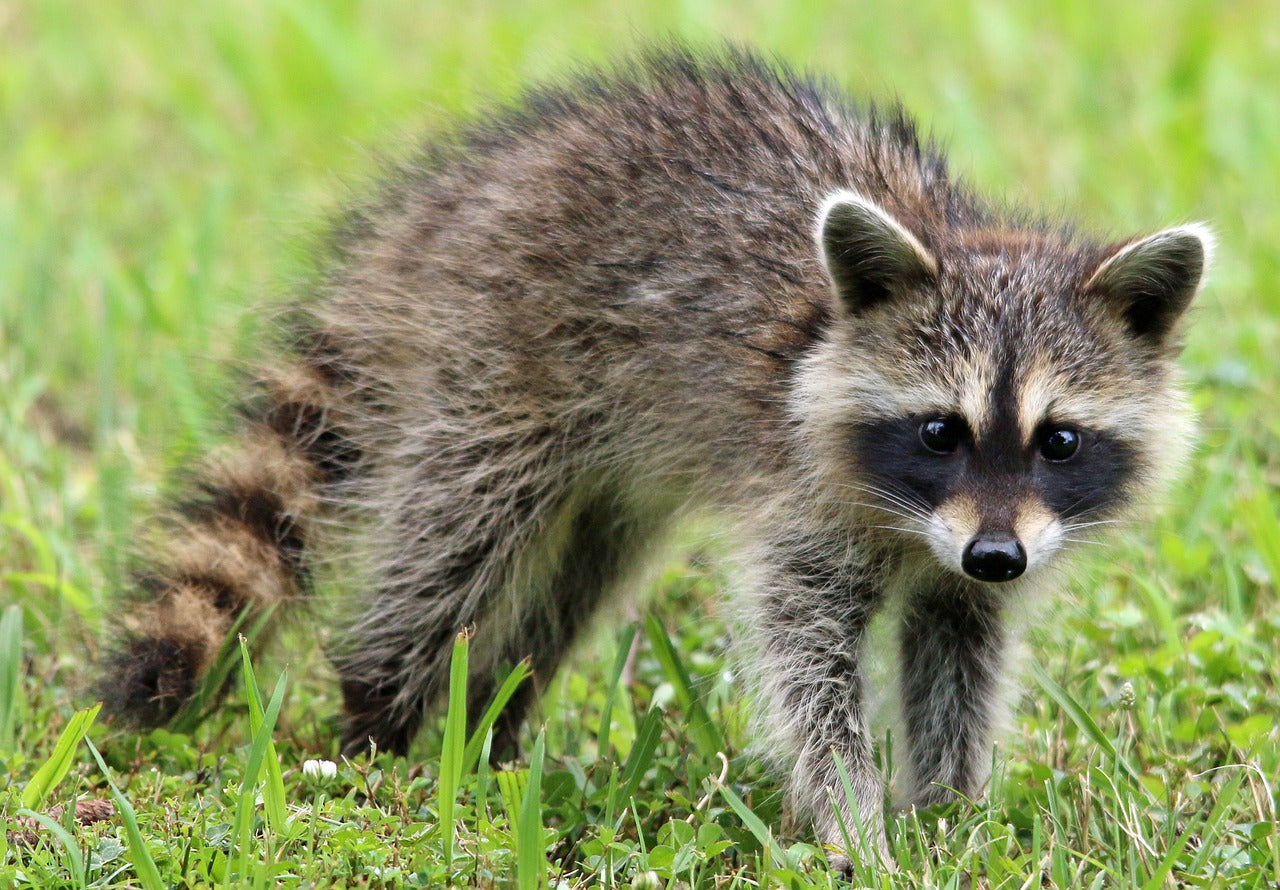 nuffinz racoon