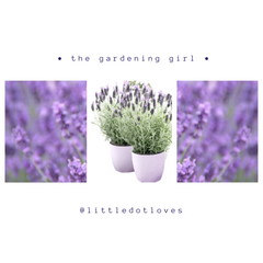 Pictures of Lavender Plants