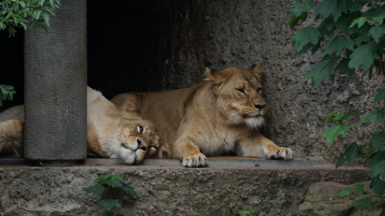 Lions under shade