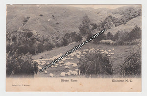 Postcard Sheep Farm Gisbourne New Zealand 1906