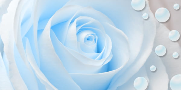 Blue colored roses