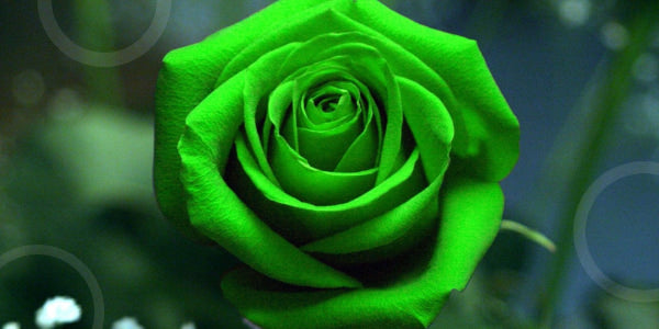 Green roses meaning