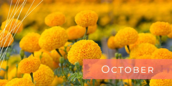 Flowers for October Marigold
