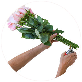 cut the stems of roses
