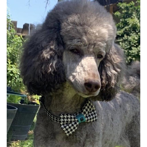 poodle wearing turquoise houndstooth collar and bow tie set