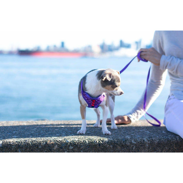 chihuahua in Royal purple chest harness and leash set - puccissime pet couture