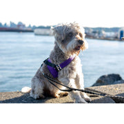 Schnauzer in fenrir fashion purple leopard silver blue stripe dog harness - puccissime pet couture