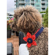 toy poodle in Frayed denim & red dog collar flower accessories with bronze studs - Puccissime Pet Couture