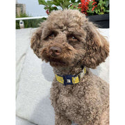 Toy poodle in Mustard honeycomb frayed denim dog collar - Puccissime pet couture