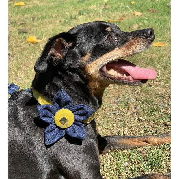 Pincher in Mustard honeycomb frayed denim dog collar flower with silver metal buckle - Puccissime pet couture