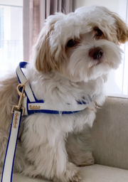 Havanese dog wearing luxury designer white and blue PU leather dog collar , leash , bow tie and harness full matching set with gold buckle - elegant dog accessories with crystal bee - Puccissime Pet Couture