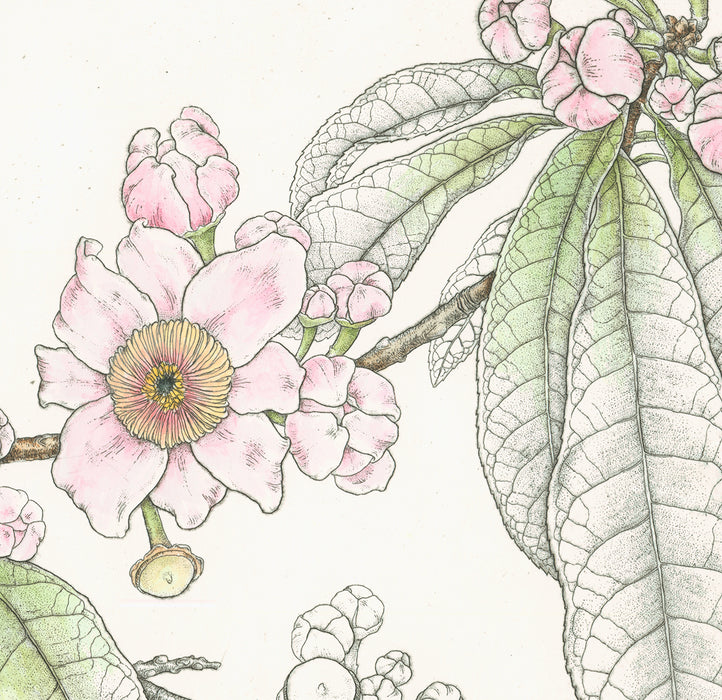Bobbi Angell - Gustavia Serrata - etching with handcoloring