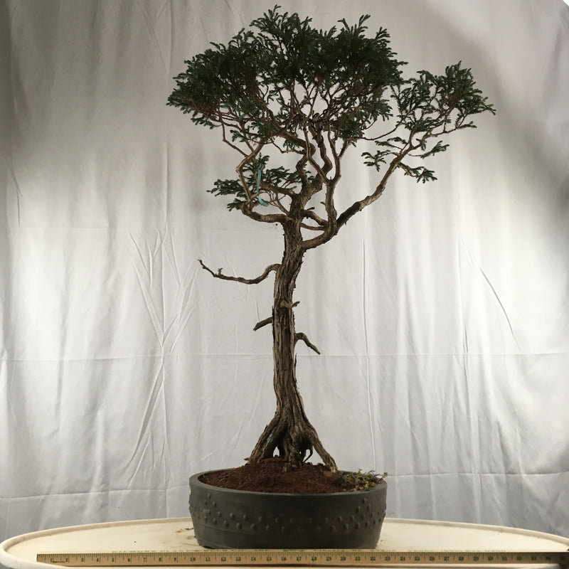 How to care for Japanese Boulevard Blue Falsecypress as bonsai