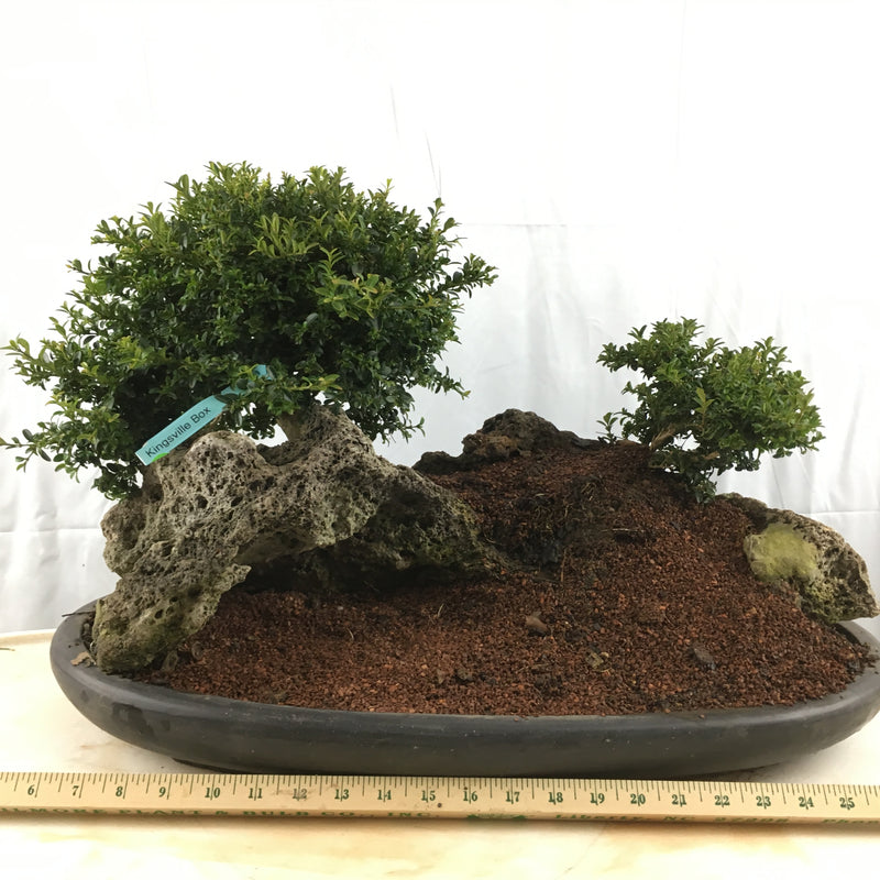 How to Care for Boxwood - Buxus - Bonsai