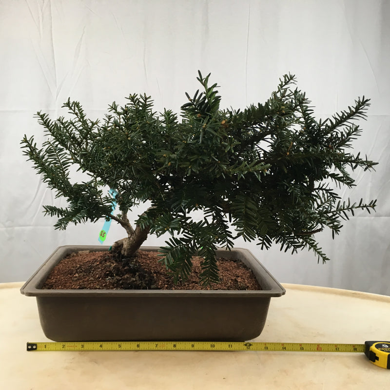 How to care for Japanese Yew as bonsai
