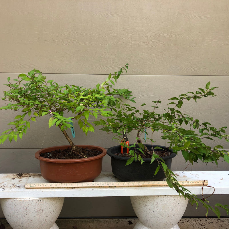 How to Care for Purple Beautyberry Bonsai