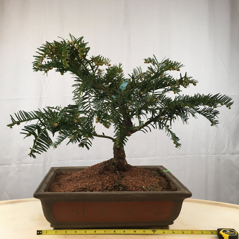 How to care for Japanese Plum Yew as bonsai