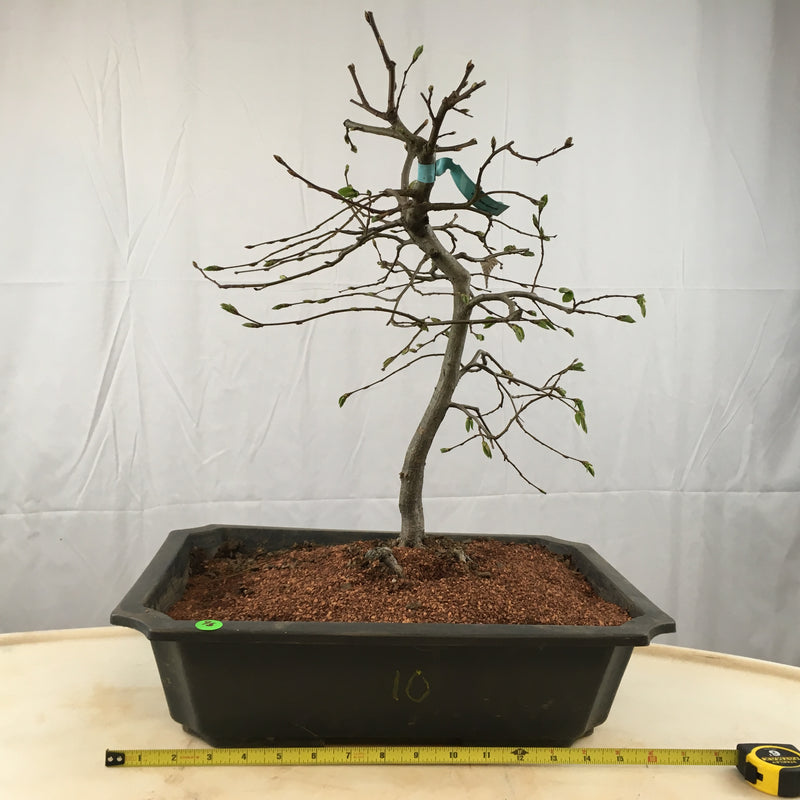 How to care for Hornbeam -Carpinus - as bonsai