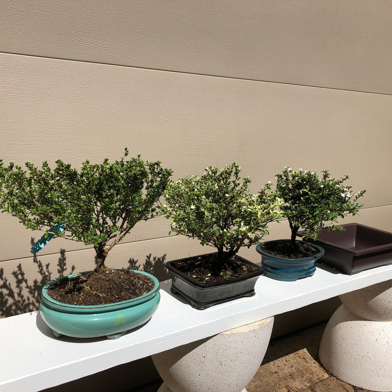 How to care for Serissa as bonsai