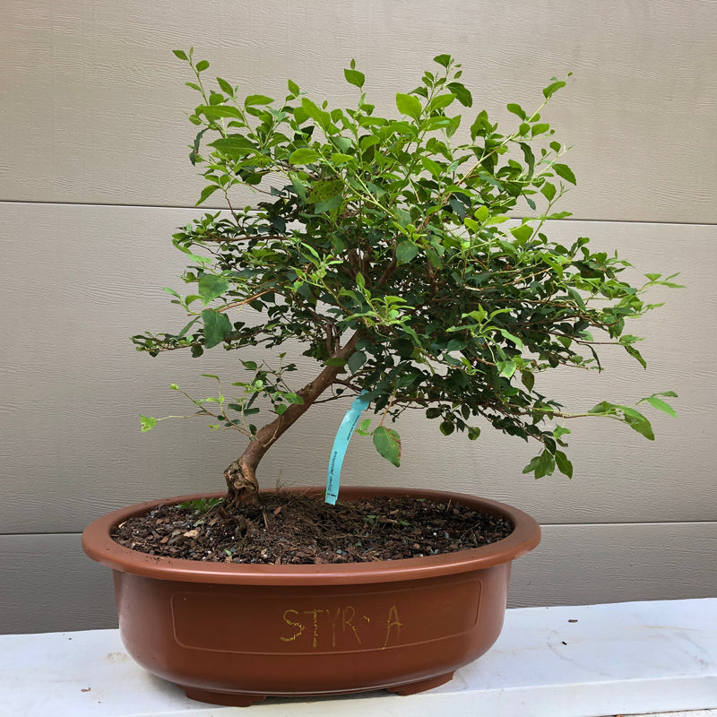 How to grow Styrax japonica -Japanese Snowbell- as bonsai