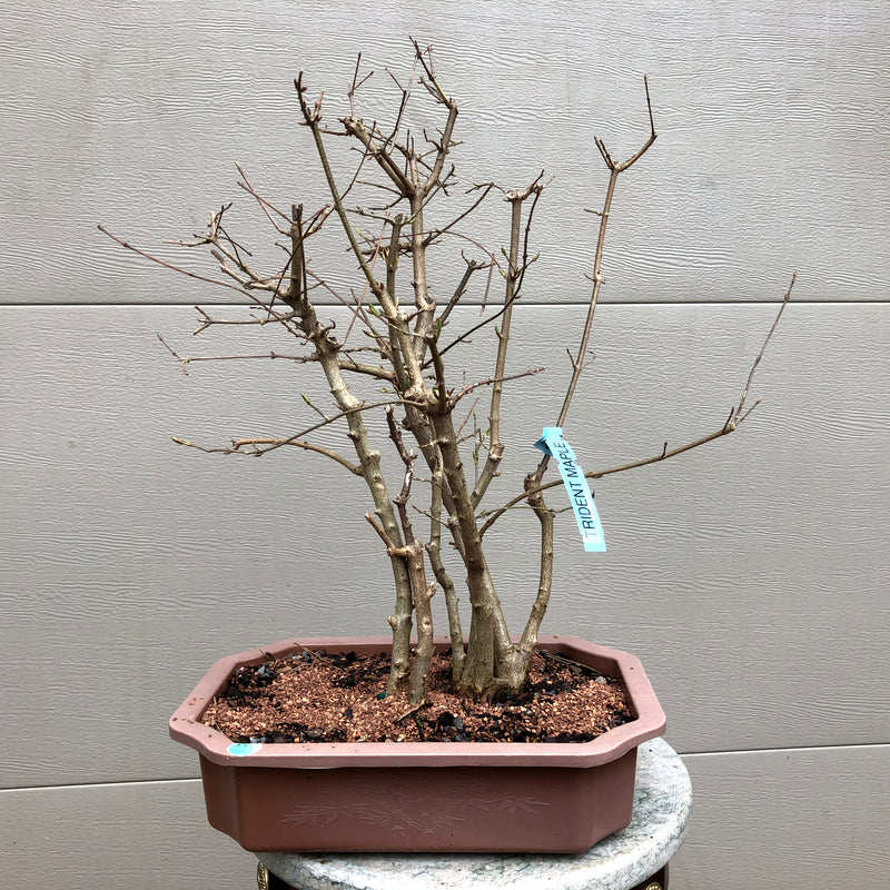 Trident Maple Group 4