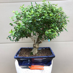Glossy Abelia - 'Little Richard' Bonsai