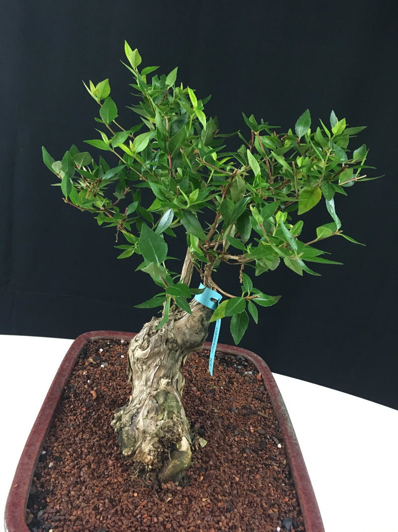 Abelia Bonsai Tree