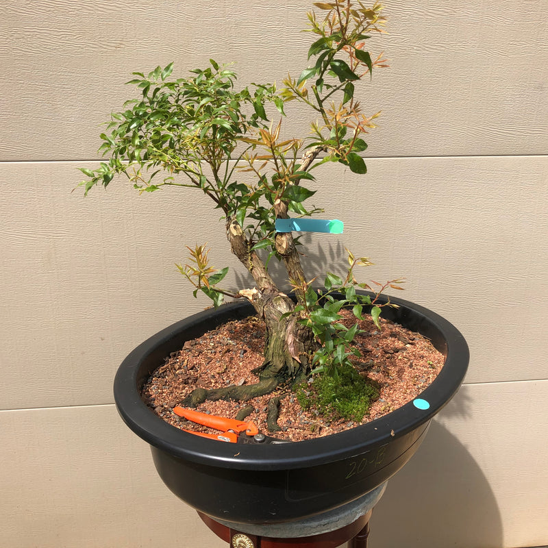 Agarista Bonsai Tree - Florida Leucothoe