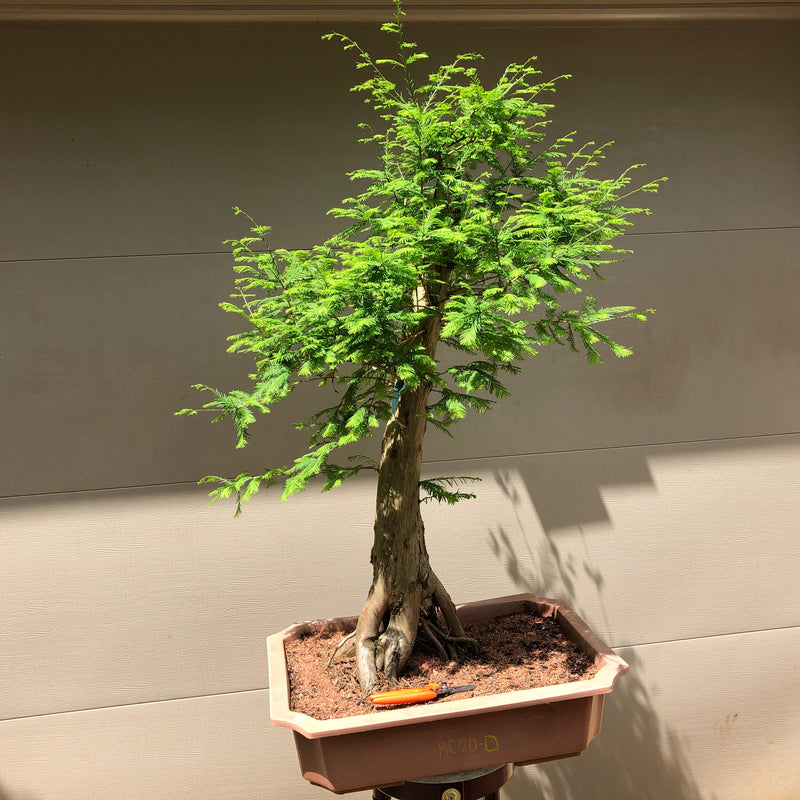 Bald Cypress Bonsai BC-20D