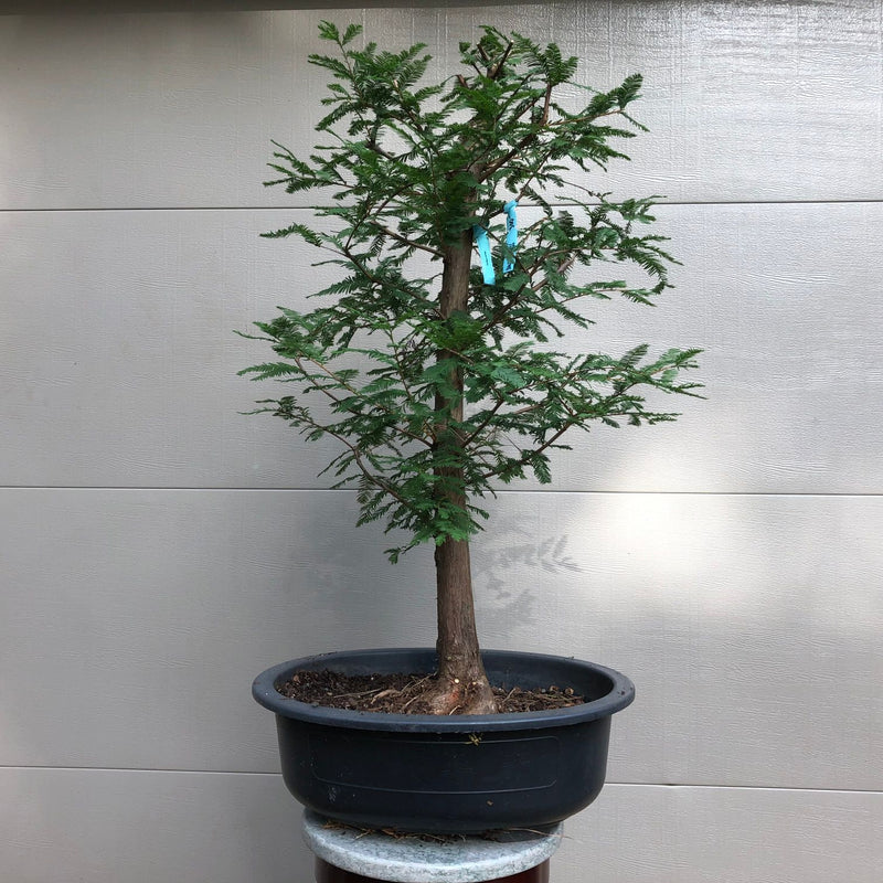 Baldcypress Bonsai Tree 3