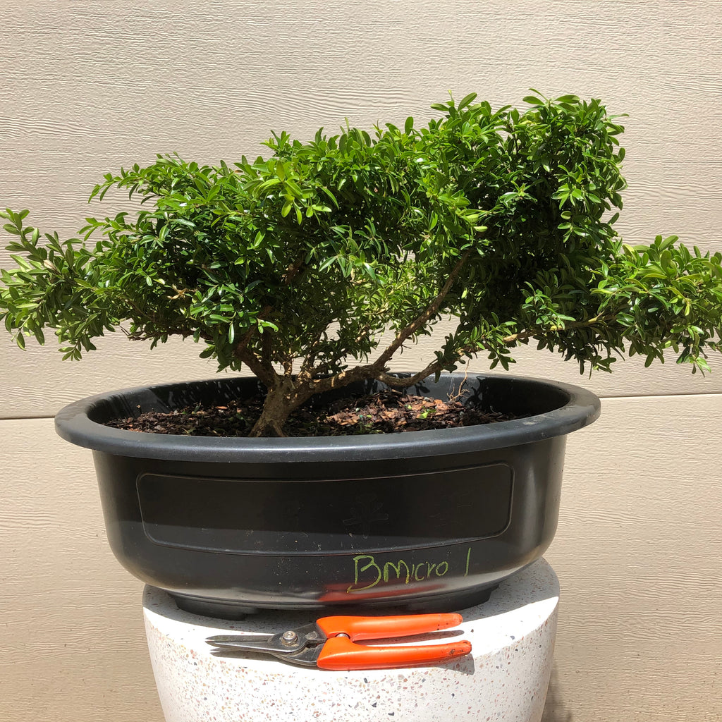 Little Leaf Japanese Boxwood Bonsai