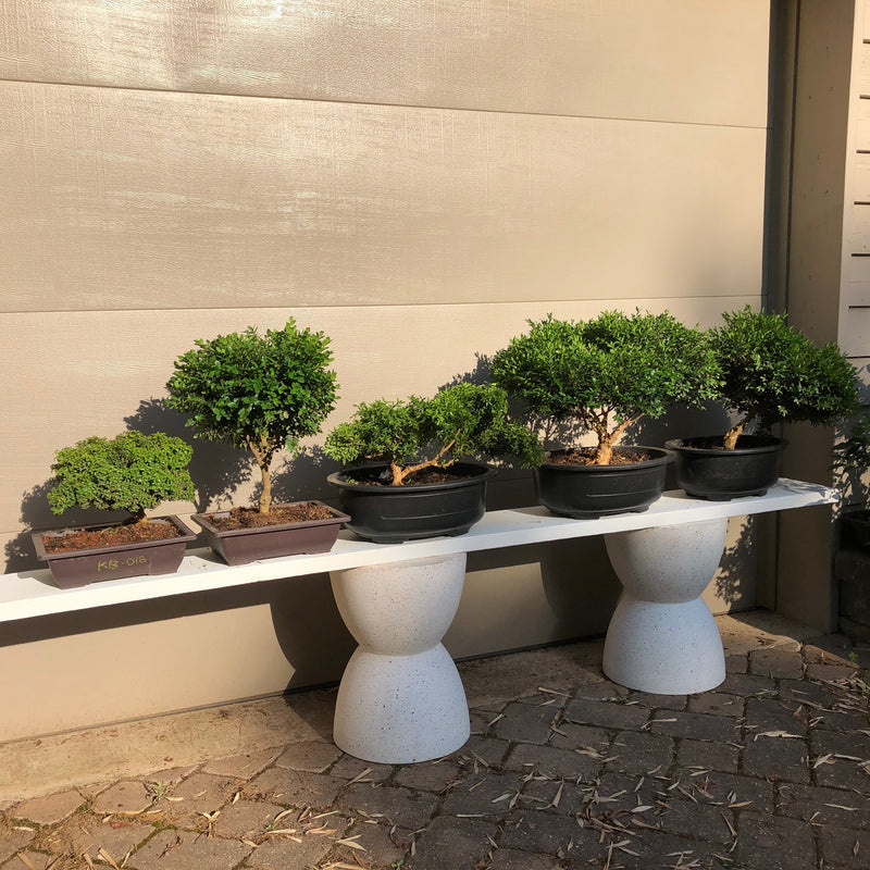 Buxus Boxwood varieties Bonsai Trees
