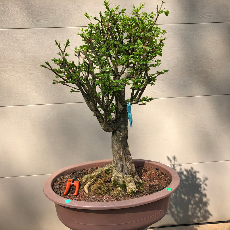 Burning Bush Bonsai