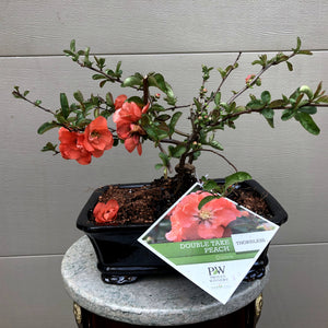 Japanese Flowering Quince 2 'Double Take Peach'