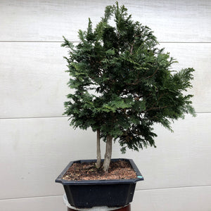 Hinoki Cypress-  double trunk