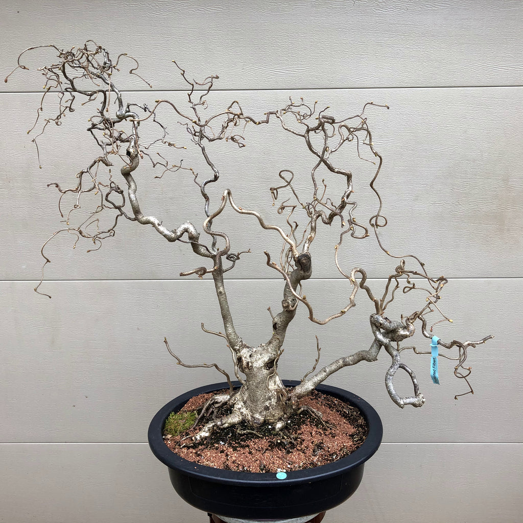 Contorted Filbert Bonsai -Harry Lauder's Walking Stick