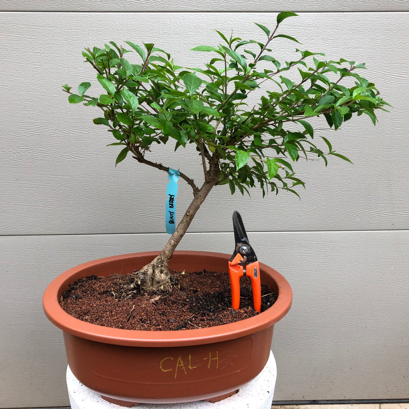 Purple Beautyberry Bonsai Tree