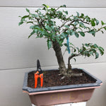 Callery Pear Bonsai