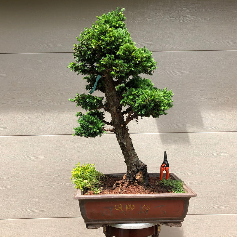 Japanese Cryptomeria #2 Bonsai Tree