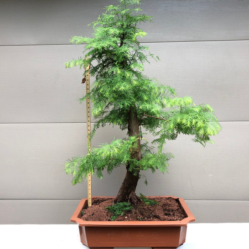 Dawn Redwood Bonsai