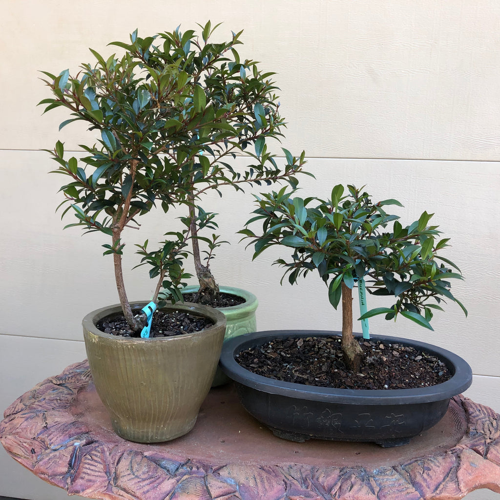 Eugenia Bonsai -Brush Cherry