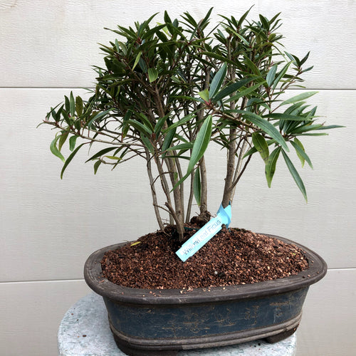 Willow Leaf Ficus Grouping Bonsai