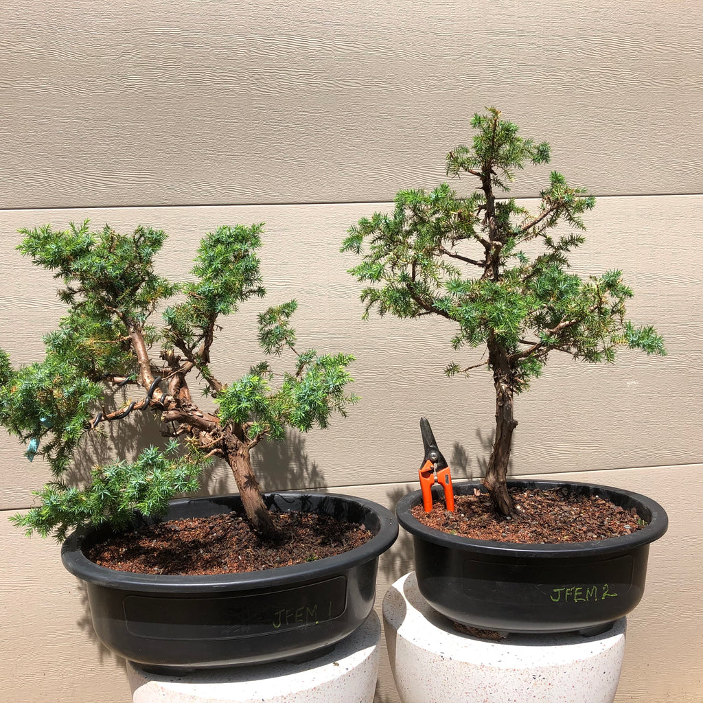 Foemina Juniper Bonsai