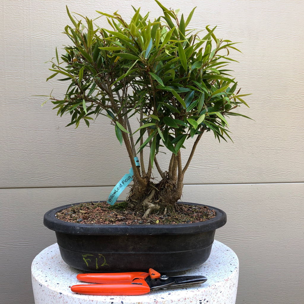 Willow leaf Ficus Bonsai Tree